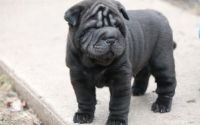 Chinese Shar Pei Puppies for sale in Bakersfield, CA, USA. price: NA