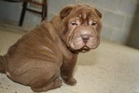 Chinese Shar Pei Puppies for sale in Kansas City, KS, USA. price: NA