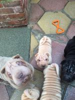 Chinese Shar Pei Puppies for sale in Savannah, GA, USA. price: NA