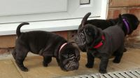 Chinese Shar Pei Puppies for sale in Evansville, WY, USA. price: NA