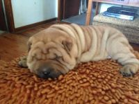 Chinese Shar Pei Puppies for sale in Berkeley, CA, USA. price: NA