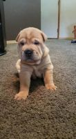 Chinese Shar Pei Puppies for sale in Clarksville, TN, USA. price: NA