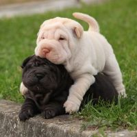 Chinese Shar Pei Puppies for sale in Tulsa, OK, USA. price: NA