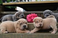 Chinese Shar Pei Puppies for sale in Rochester, NY, USA. price: NA