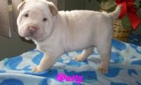 Chinese Shar Pei Puppies for sale in Jacksonville, FL, USA. price: NA