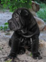 Chinese Shar Pei Puppies for sale in Los Altos Hills, CA, USA. price: NA