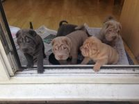 Chinese Shar Pei Puppies for sale in Houston, TX, USA. price: NA