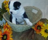 Chinese Shar Pei Puppies for sale in Baywood-Los Osos, CA 93402, USA. price: NA