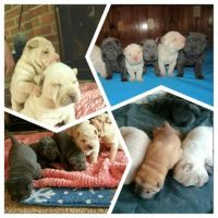 Chinese Shar Pei Puppies for sale in Henderson, NC 27537, USA. price: NA