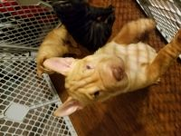 Chinese Shar Pei Puppies for sale in Hurdle Mills, NC 27541, USA. price: NA