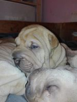 Chinese Shar Pei Puppies for sale in WY-110, Devils Tower, WY 82714, USA. price: NA