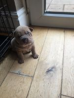 Chinese Shar Pei Puppies for sale in AR-98, Emerson, AR 71740, USA. price: NA