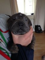 Chinese Shar Pei Puppies for sale in Richmond, VA, USA. price: NA