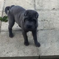Chinese Shar Pei Puppies for sale in Joliet, IL, USA. price: NA