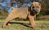 Chinese Shar Pei Puppies for sale in Aliso Viejo, CA, USA. price: NA