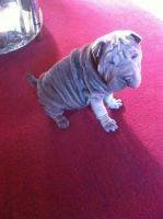 Chinese Shar Pei Puppies for sale in Oklahoma City, OK, USA. price: NA