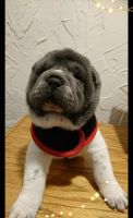 Chinese Shar Pei Puppies for sale in New Eagle, PA 15067, USA. price: NA