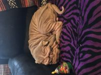 Chinese Shar Pei Puppies for sale in Elwood, IN 46036, USA. price: NA