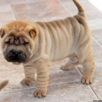 Chinese Shar Pei Puppies for sale in Campus Drive, Stanford, CA 94305, USA. price: NA