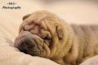 Chinese Shar Pei Puppies for sale in Uniontown, PA 15401, USA. price: NA