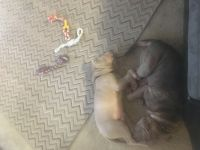 Chinese Shar Pei Puppies for sale in Seaford, DE 19973, USA. price: NA
