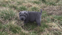 Chinese Shar Pei Puppies for sale in Dover, DE, USA. price: NA