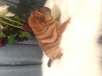 Chinese Shar Pei Puppies for sale in Okemah, OK 74859, USA. price: NA