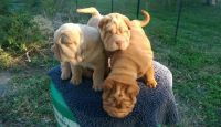Chinese Shar Pei Puppies for sale in Austin St, Corpus Christi, TX, USA. price: NA
