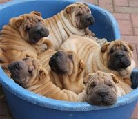 Chinese Shar Pei Puppies for sale in 58503 Rd 225, North Fork, CA 93643, USA. price: NA