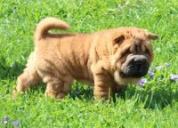 Chinese Shar Pei Puppies for sale in Decatur, IL, USA. price: NA