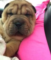 Chinese Shar Pei Puppies for sale in 340 S 600 W, Salt Lake City, UT 84101, USA. price: NA