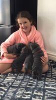 Chinese Shar Pei Puppies for sale in Alaska Range, Alaska, USA. price: NA