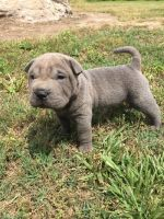 Chinese Shar Pei Puppies for sale in Detroit, MI, USA. price: NA