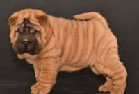 Chinese Shar Pei Puppies for sale in Tecate, CA 91987, USA. price: NA