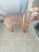 Chinese Shar Pei Puppies for sale in Weyauwega, WI 54983, USA. price: NA