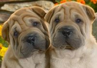Chinese Shar Pei Puppies for sale in Del Mar Ave, Rosemead, CA 91770, USA. price: NA