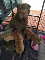 Chinese Shar Pei Puppies for sale in Cheyenne, WY 82001, USA. price: NA
