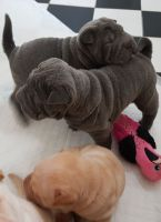 Chinese Shar Pei Puppies for sale in Phoenix, AZ 85073, USA. price: NA