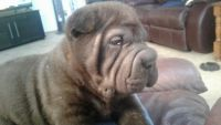 Chinese Shar Pei Puppies for sale in Lodi, CA, USA. price: NA