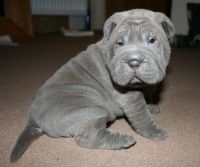 Chinese Shar Pei Puppies for sale in Dallas, TX, USA. price: NA