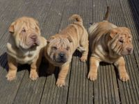 Chinese Shar Pei Puppies for sale in Nashville, TN 37246, USA. price: NA