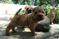 Chinese Shar Pei Puppies for sale in Newark, NJ, USA. price: NA