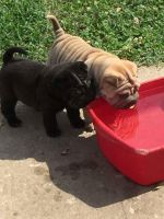 Chinese Shar Pei Puppies for sale in Edison, NJ 08837, USA. price: NA