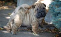 Chinese Shar Pei Puppies for sale in Philadelphia, PA, USA. price: NA