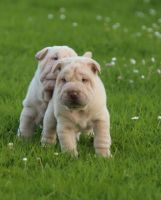 Chinese Shar Pei Puppies for sale in Chicago, IL, USA. price: NA