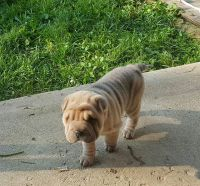 Chinese Shar Pei Puppies for sale in Brookville, OH 45309, USA. price: NA