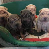 Chinese Shar Pei Puppies for sale in Newport, RI, USA. price: NA