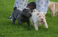Chinese Shar Pei Puppies for sale in Clifton, NJ, USA. price: NA