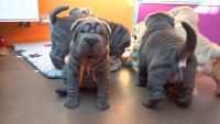 Chinese Shar Pei Puppies for sale in New York, IA 50238, USA. price: NA