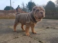 Chinese Shar Pei Puppies for sale in New York, NY, USA. price: NA